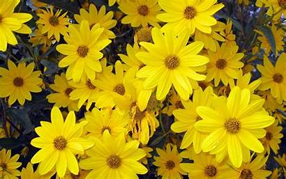 Flowers Aster Wallpapers Backgrounds Background Yellow Tag