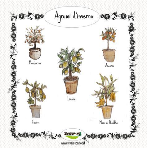 coltivare agrumi in vaso coltivare piante di agrumi in vaso consigli pratici
