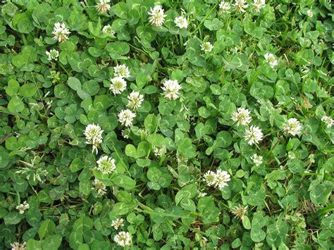 clover plant online plant guide trifolium repens white clover