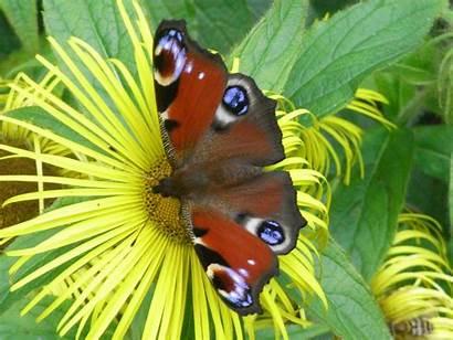 Butterfly Peacock Wallpapers Oracle Emerging Chrysalis Daisies