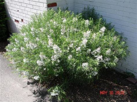 shrub with small white flowers in shrub with small white flowers and very thin leaves