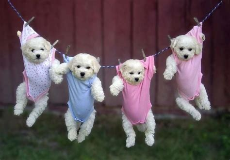 Do Bichon Yorkies Shed by Puppies Hanging In Baby Clothes Teh Cute