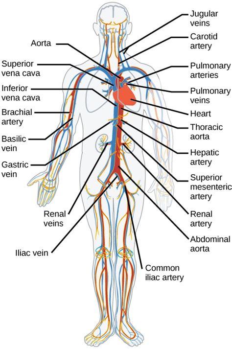 main parts   circulatory system