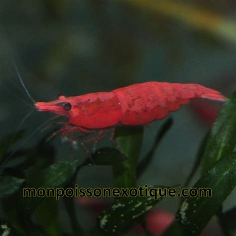 vente crevette aquarium en ligne crevette cherry 1cm lot de 3 invertebres crevettes monpoissonexotique
