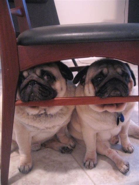 images  scaredy pugs  pinterest pug   relieve stress   vets