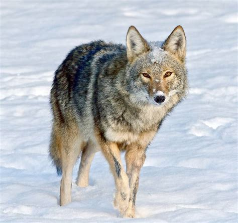 Beautiful Animals Wallpapers Free - 44 coyote jackal animal photos hd wallpapers