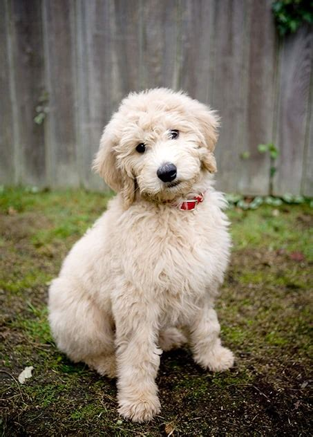 Groodle Dog Breed Informationstats And P Os Petcare