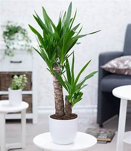 Robuste Zimmerpflanzen Groß : yucca palme ca 60 cm hoch 1a zimmerpflanzen online kaufen baldur garten ~ Sanjose-hotels-ca.com Haus und Dekorationen