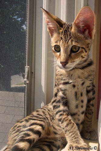 128 Best Savannah Cat Images On Pinterest