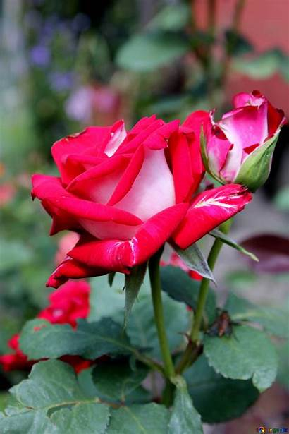 Roses Rose Flower Flowers Plant Background Nature
