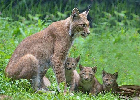 europaeischer luchs tierpark stadt haag