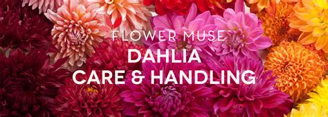 how to take care of dahlias in a pot dahlia care and handling flower muse blog