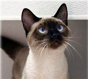 Image - Seal Point Siamese kitten.jpg | Dogs and Cats Wiki ...
