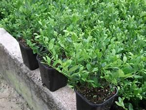 Ilex Hecke Giftig : pflanzen ~ Lizthompson.info Haus und Dekorationen