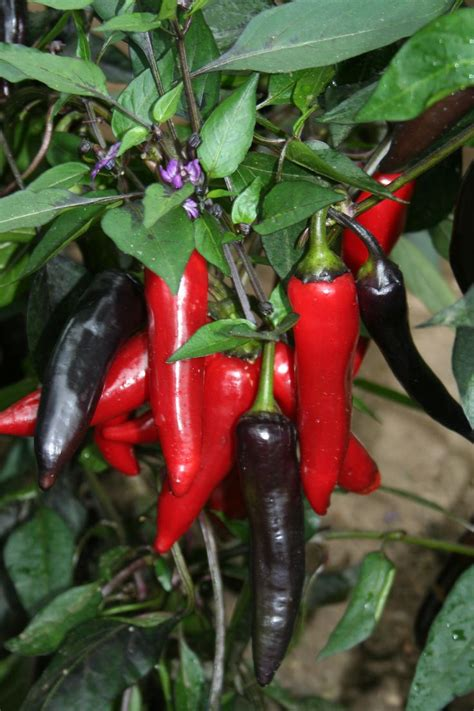 collection  potted unusual chilli peppers  edge