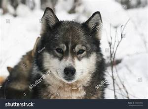 Siberian Hunting Dog Laika Portrait Traditional Stock ...
