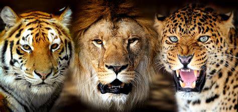 tigre leone leorard immagine stock immagine  africano