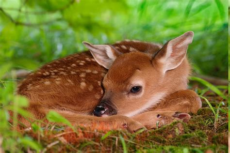 Deer, Nature, Animals, Fawns, Baby Animals Wallpapers Hd
