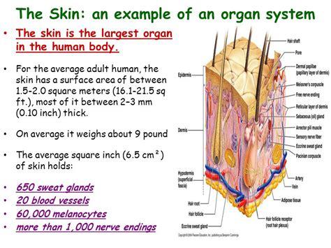 Largest Organ In The Body – cultua.info