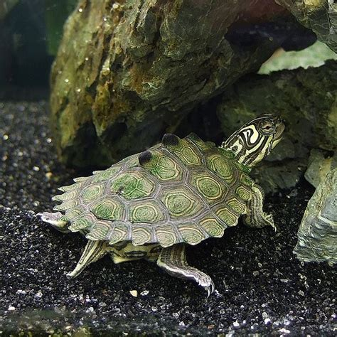 aquatic turtles red eared slider map and painted turtles semi aquatic