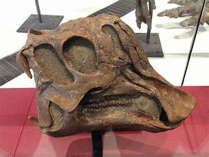 File:Corythosaurus cauarius, juvenile skull and jaws ...