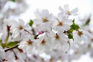 Rosa Blühende Bäume April : fr hling kirsche wei april blossom rosa knospe ast makro blick stockfoto colourbox ~ Michelbontemps.com Haus und Dekorationen