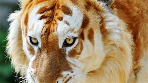 Cats Golden Tiger Wallpaper