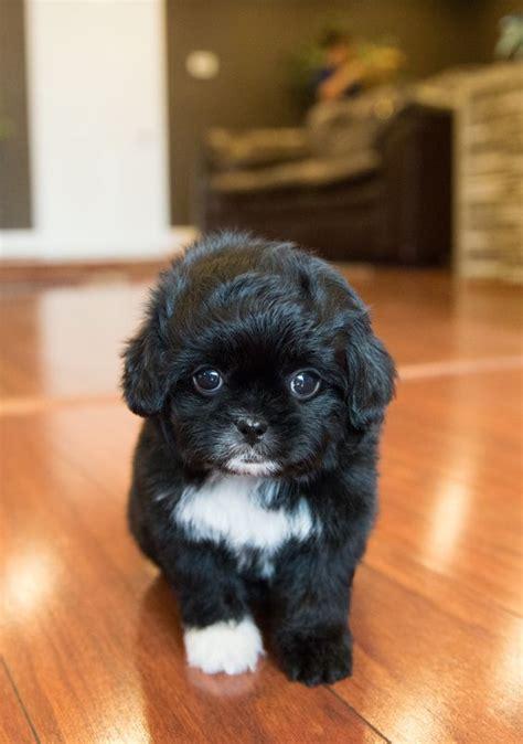 poodle cross breeds cutest poodle mix dogs list