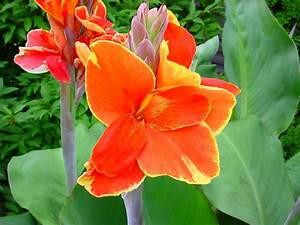 Canna Blüten Abschneiden :  ~ Lizthompson.info Haus und Dekorationen