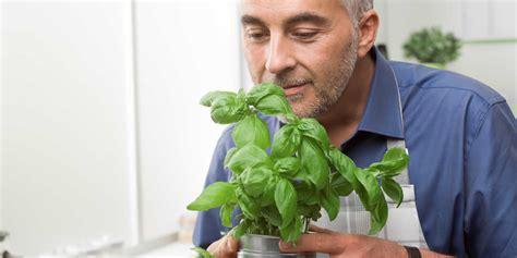 tomaten in der wohnung züchten basilikum in der wohnung tipps zu pflege und ernte