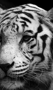 White Bengal Tiger Wallpaper (55+ images)