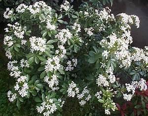 Arbuste À Feuillage Persistant : arbuste fleurs blanches feuillage persistant web com ~ Melissatoandfro.com Idées de Décoration