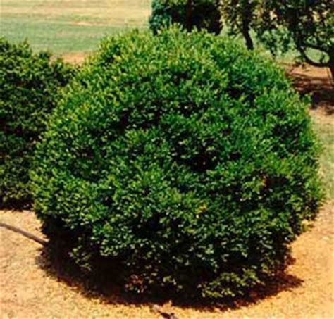 hedge bushes types types of shrubs picture of littleleaf boxwood buxus microphylla shrub form landscape ideas