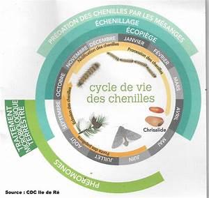 Piege A Chenille Processionnaire Du Pin : cycle de vie de la chenille processionnaire du pin ~ Premium-room.com Idées de Décoration