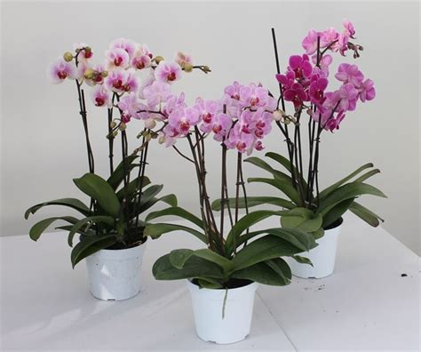 Orchidee Come Curarle In Appartamento by Vasi Per Orchidee Vasi Tipologie Di Vasi Per Orchidee