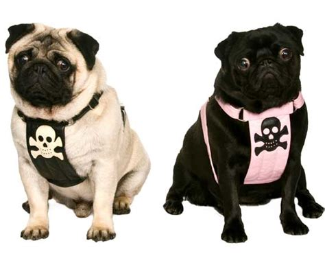 pugs pirate harnessessmall mediummade  order