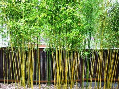 backyard bamboo 13 extraordinary bamboo garden ideas digital photograph design landscaping pinterest