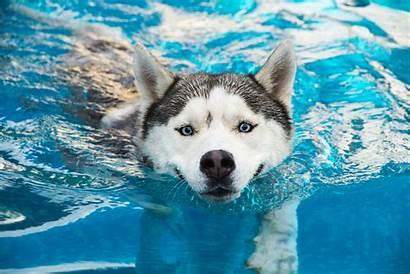 Husky Dog Athletic Siberian Breeds Dogs Background