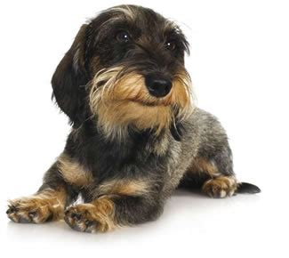 Dachshund Short Sweet Dogs Monthly