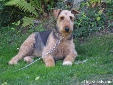 do airedale puppies shed large breed low shedding dogs breeds picture