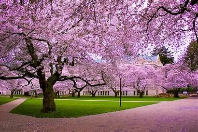 Cherry Blossom Wallpapers Px Widescreen