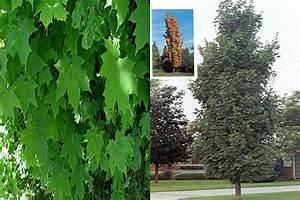 Arbre Croissance Rapide : arbre a croissance rapide ~ Premium-room.com Idées de Décoration