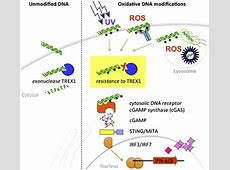 Oxidative Damage of DNA Confers Resistance to Cytosolic