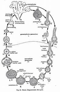 Life Cycle Of Riccia  With Diagram