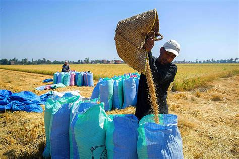 rice harvest season reveals hopes suffering  egyptian