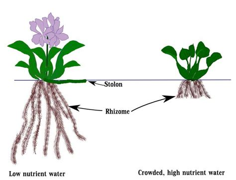 Diagram Of Water Flower by The Extensive Root System Of The Water Hyacinth