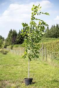 Fuchsien Stecklinge Kaufen : wallnussbaum juglans regi g nstig online kaufen ~ Michelbontemps.com Haus und Dekorationen
