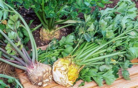 cuisiner celeri comment cuisiner le celeri 28 images c 233 leri r 244