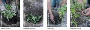 Paprika Pflanzen Abstand : tomaten pflanzen ~ Whattoseeinmadrid.com Haus und Dekorationen