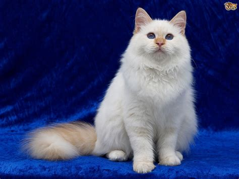 Turkish Angora And Hereditary Health Issues